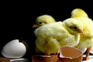 The main poultry producers and distributors in Eastern Europe received commercial support from Biovet