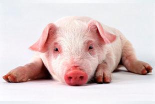Изучение использования цименолного кольцо и пронутреантов кишечных кондиционеров для улучшения производственных параметров у свиней