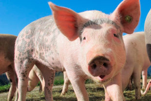 Evaluation of the productive parameters in pigs using the molecule Silicoglycidol