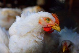 Eficacia de los pronutrientes optimizadores intestinales para controlar coccidiosis en pollos de engorde