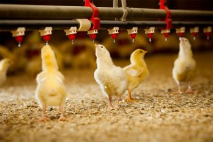 Study of the efficacy of intestinal optimizer pronutrients to control the coccidiosis in broilers