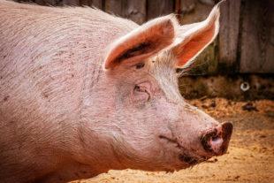 Efecto de Alquernat Nebsui, pronutrientes acondicionadores intestinales, en cerdos
