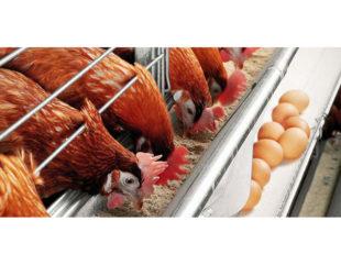 Uso de Alquernat Yucca, extracto de yucca y anillo cimenol, en la dieta de gallinas ponedoras