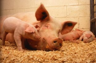 Study of the efficacy of liver conditioner pronutrients in pregnant sows and piglets