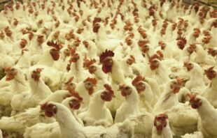 Improvement of vaccines efficacy with immunobooster pronutrients in broilers