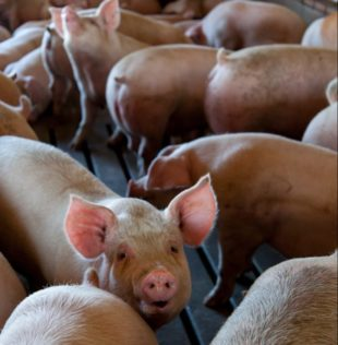 Effect of immunostimulant pronutrients in fattening pigs