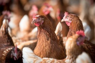 Effect of an intestinal optimizer in laying hens