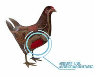 Alquernat Livol: imprescindible en los procesos de regeneración hepática