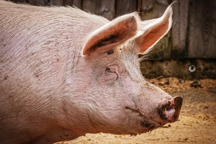Alquernat Yucca improves animal welfare and productive performance in pigs