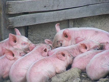Alquernat Immuplus: an essential product to prevent swine influenza