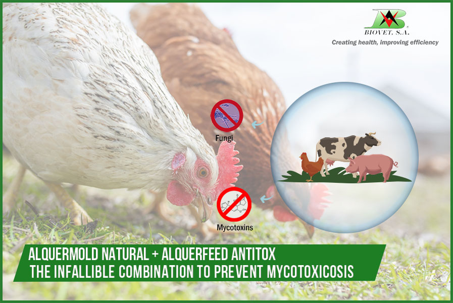 Alquermold Natrural and Alquerfeed Antitox: the infallible combination to prevent mycotoxicosis