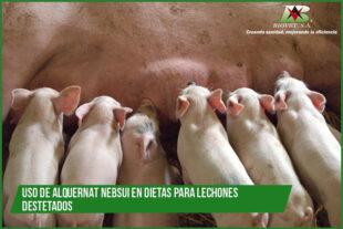 Uso de Alquernat Nebsui en dietas para lechones destetados