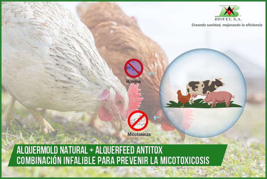 Alquermold Natural y Alquerfeed Antitox: combinación infalible para prevención de micotoxicosis