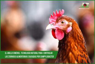 El anillo cimenol, tecnlogía natural para controlar las zoonosis alimentarias causadas por Campylobacter