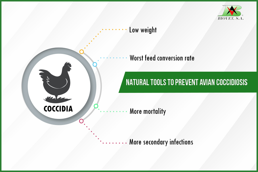 NATURAL TOOLS TO PREVENT AVIAN COCCIDIOSIS