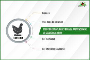 Soluciones naturales para la prevención de la coccidiosis aviar