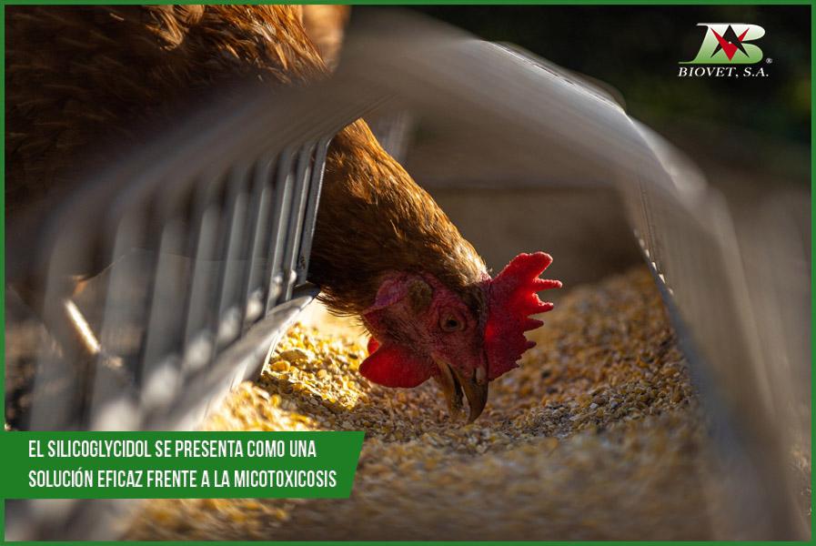 Efectos de las micotoxinas en la producción animal a nivel mundial Las micotoxinas son metabolitos secundarios producidos por hongos toxigénicos que contaminan los alimentos y piensos que se emplean en la alimentación animal provocando alteraciones en diferentes órganos y disminuyendo la productividad de los animales. Las micotoxinas con mayor prevalencia durante 2020 y durante el primer trimestre de 2021, fueron la fumonisina, los tricotecenos (DON) y la zearalenona. Estos metabolitos fúngicos afectan tanto al bienestar intestinal como a la capacidad reproductiva de los animales, disminuyendo su rendimiento productivo. La molécula Silicoglycidol, desarrollada y patentada por Biovet S.A., es la primera molécula captadora de micotoxinas capaz de unirse a micotoxinas de todos los grupos químicos con efectos sobre la producción animal. Además, su eficacia ha sido demostrado en más de 50 países durante más de 35 años. Fumonisina, tricotecenos y zearalenona micotoxinas con mayor prevalencia en 2020 e inicios de 2021 Los estudios realizados durante la última parte del 2020, así como las predicciones para el primer trimestre de 2021, indican un incremento de fumonisina en los piensos, situándose como la micotoxina con mayor presencia a nivel mundial, con una prevalencia de hasta el 93%. La segunda micotoxina con mayor prevalencia son los tricotecenos (DON), cuya incidencia se situó entre el 79% en los EE. UU. y 87% en China en el último trimestre de 2020. Esta micotoxina es especialmente relevante por las pérdidas que ocasiona en el ganado porcino. La zearalenona es otra de las micotoxinas con más prevalencia a nivel mundial. En el último trimestre de 2020, su presencia fue de entre el 31-81%, similar a la de comienzos de 2021. Es una micotoxina de especial relevancia por los problemas reproductivos que ocasiona en el ganado porcino. Estos elevados porcentajes de contaminación implican que sea frecuente que los piensos estén contaminados por más de una micotoxina de forma 