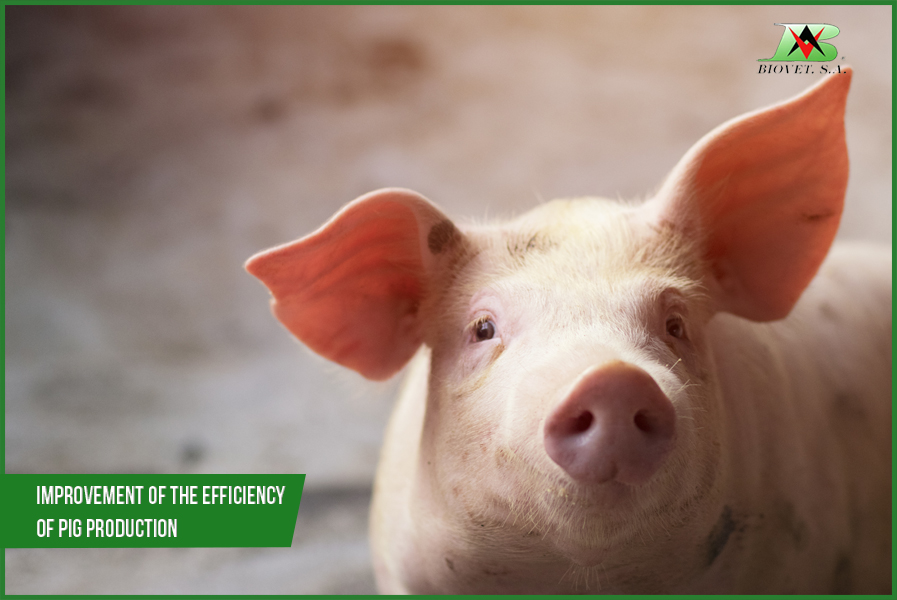 Improvement of the efficiency of pig production