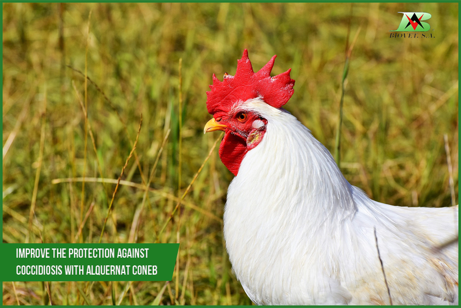 Improve the protection against coccidiosis with Alquernat Coneb