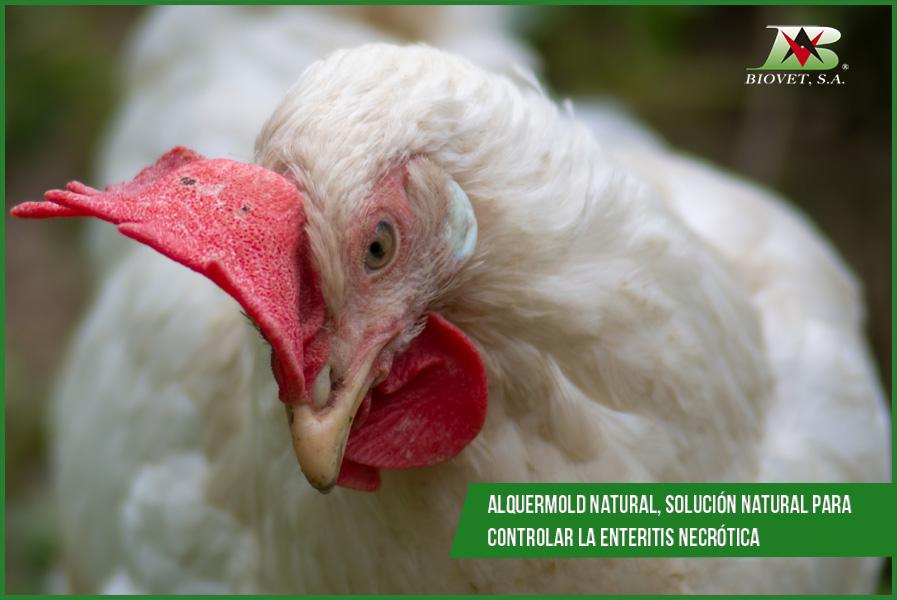 Alquermold Natural, solución natural para controlar la enteritis necrótica
