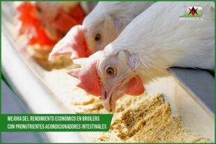 Mejora del rendimiento económico en broilers con pronutrientes acondicionadores intestinales