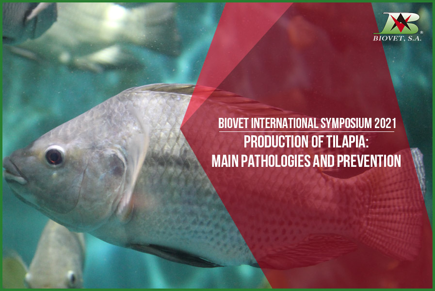 Production of tilapia main pathologies and prevention